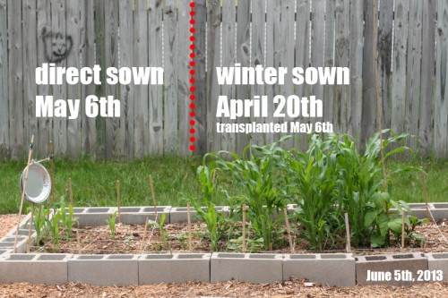 direct sowing corn vs winter sowing