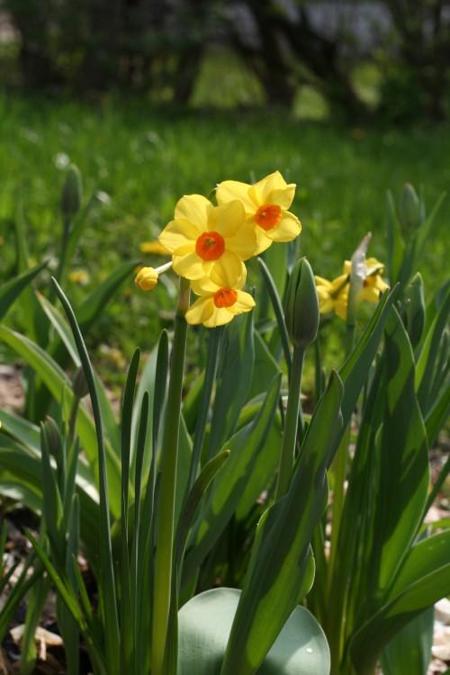 Narcissus_martinette_05