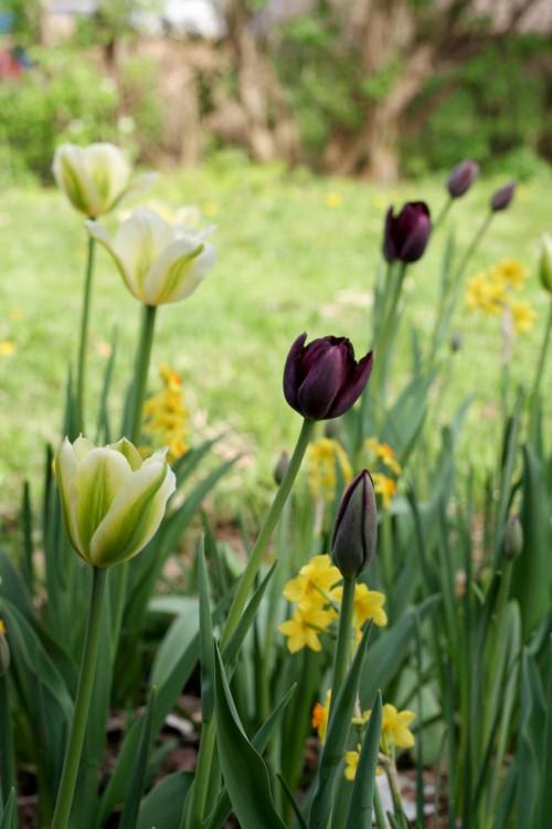 tulipqueenofnightandspringgreen3